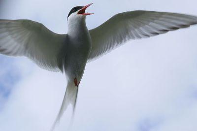Arctic Tern (Sterna paradisaea) ©WikiC