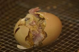 Solved! – Chicken or Egg – Which Came First?