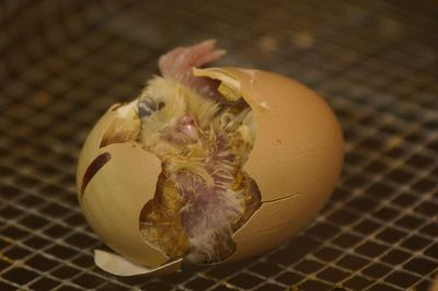 Chicken Hatching © WikiC