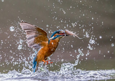 Common Kingfisher (Alcedo atthis) ©Flickr Andy Morffew