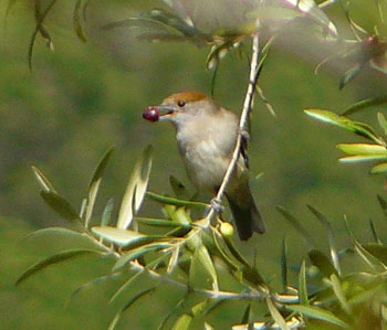 Blackcap Female Eating an Olive ©Iberianature