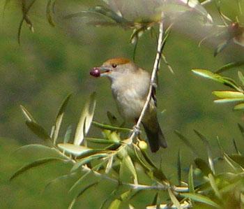 Blackcap Female Eating an Olive ©Iberianature