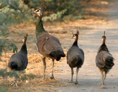 Indian Peafowl with immatures Stealing away ©WikiC