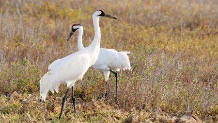 Whooping Crane (Grus americana) ©Netnebraska.org
