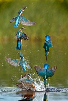 Kingfisher Diving Sequence ©SMedia-Cache