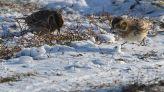 Lapland Longspur (Calcarius lapponicus) ©WikiC