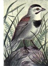 McCown's Longspur (Rhynchophanes mccownii) ©Drawing WikiC