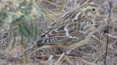 Smith's Longspur (Calcarius pictus) ©WikiC