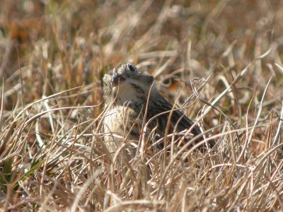 Smith's Longspur (Calcarius pictus) cc rgibbo3