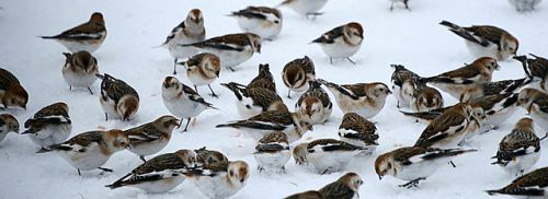 Snow Bunting (Plectrophenax nivalis) Flock ©WikiC