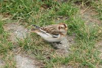 Snow Bunting (Plectrophenax nivalis) Winter Plumage - Germany ©WikiC