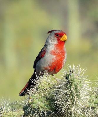 Pyrrhuloxia (Cardinalis sinuatus) ©Flickr Don Faulkner
