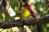 Red-headed Tanager (Piranga erythrocephala)) ©Flickr Bryant Olsen