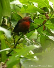 Red-throated Ant Tanager (Habia fuscicauda) by Michael Woodruff