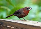 Red-throated Ant Tanager (Habia fuscicauda) ©WikiC