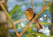 Red-throated Ant Tanager (Habia fuscicauda) Female ©WikiC