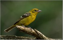 White-winged Tanager (Piranga leucoptera) (1) by Raymond Barlow