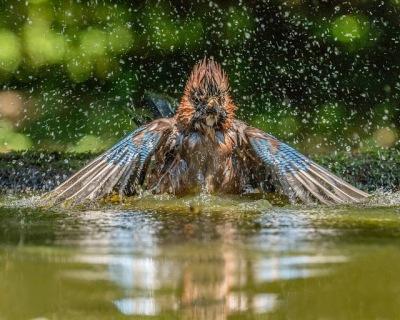 Blue Jay (Cyanocitta cristata) Having a bath ©Flickr Andy Morffew