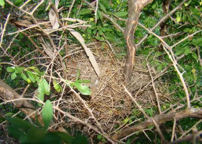Zebra Finch (Taeniopygia guttata) Nest ©Animalspot