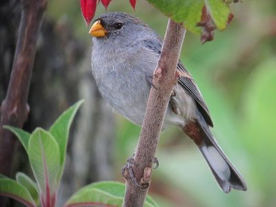 Band-tailed Seedeater (Catamenia analis) Male ©WikiC