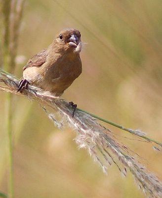 Dubois's Seedeater (Sporophila ardesiaca) Female ©WikiC