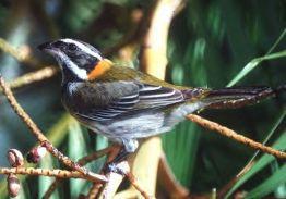 Puerto Rican Spindalis (Spindalis portoricensis) ©WikiC