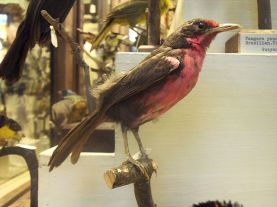 PAS-Rhod Rosy Thrush-Tanager (Rhodinocichla rosea) ©Specimen WikiC