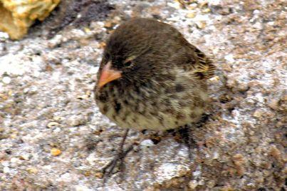 Sharp-beaked Ground Finch (Geospiza difficilis) Female ©WikiC