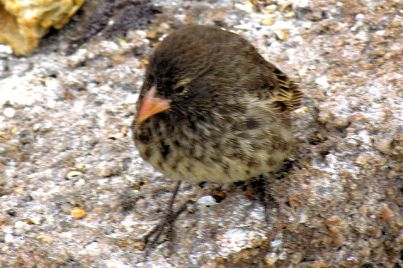 Sharp-beaked Ground Finch (Geospiza difficilis) Female ©WikiC