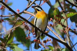 Sunday Inspiration –  Thraupidae – Tanagers and AlliesFinale