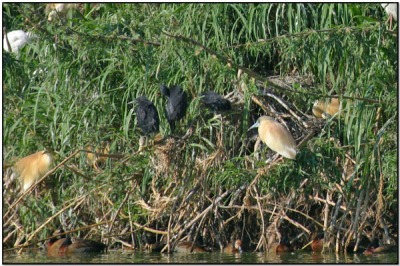 Black Heron (Egretta ardesiaca) by Daves BirdingPix