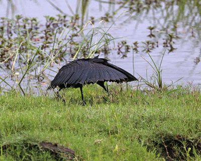 Black Heron (Egretta ardesiaca) ©WikiC