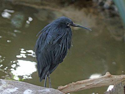 Black Heron (Egretta ardesiaca) ©WikiC San Diego Zoo