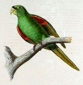 Puerto Rican conure (Aratinga chloroptera maugei) ©Drawing WikiC