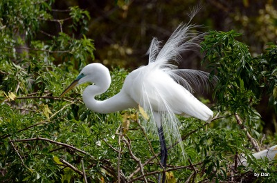 Great Egret by Dan at Gatorland