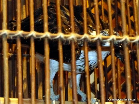 Osprey in the Ark