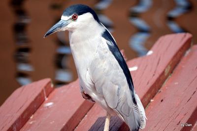 Black-crowned Night Heron by Dan