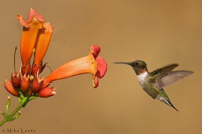 hummingbird-at-trumpetvine-mikelentz