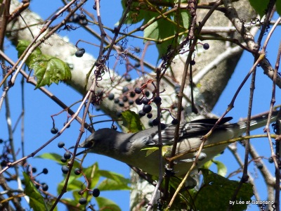 Mockingbird at Gatorland 9-17-16 by Lee