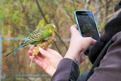 Parakeet being photographed by Phone