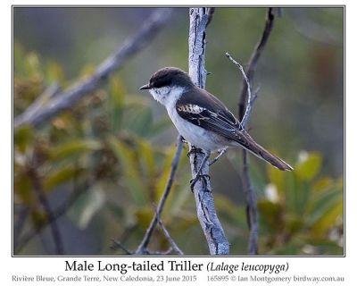 Long-tailed Triller (Lalage leucopyga) by Ian