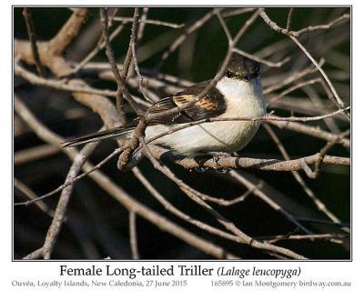 Long-tailed Triller (Lalage leucopyga) Female by Ian
