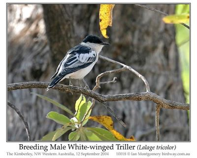 White-winged Triller (Lalage tricolor) Breeding Male by Ian