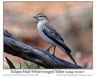 White-winged Triller (Lalage tricolor) Eclipse Male by Ian