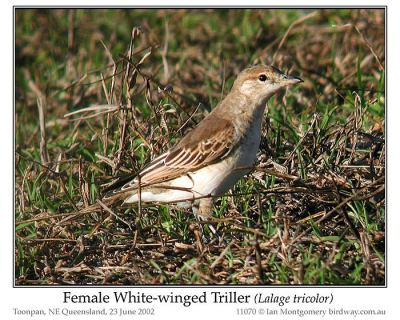 White-winged Triller (Lalage tricolor) Female by Ian