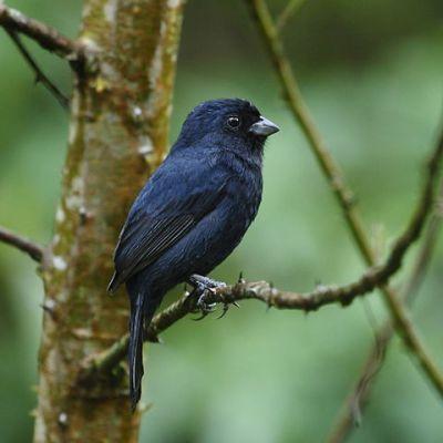 Blackish-blue Seedeater (Amaurospiza moesta) ©WikiC