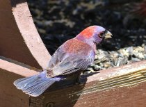Varied Bunting (Passerina versicolor) ©Flickr Tom Benson