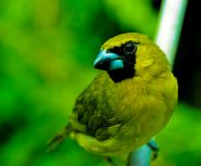 Yellow-green Grosbeak (Caryothraustes canadensis) ©WikiC