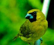 Yellow-green Grosbeak (Caryothraustes canadensis) ©WikiC