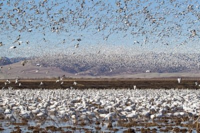 snowgeees-migrating-huge-flock-california